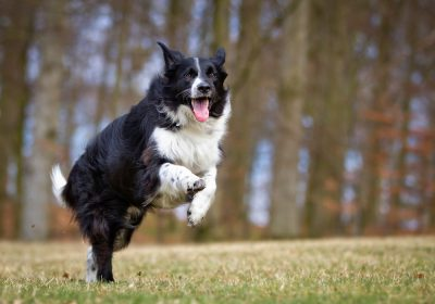 Primo piano Border Collie