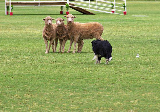 Border Collie in un trial - Associazione Italiana Sheepdog