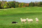 Border Collie al lavoro con le pecore - Associazione Italiana Sheepdog