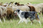 ROM - Registered of merit Sheepdog