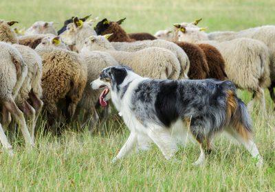 ROM - Registered of merit Sheepdog